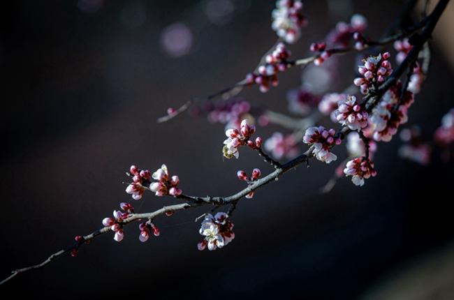 """杏花點點,驚艷了""""高原江南""""的春天"""